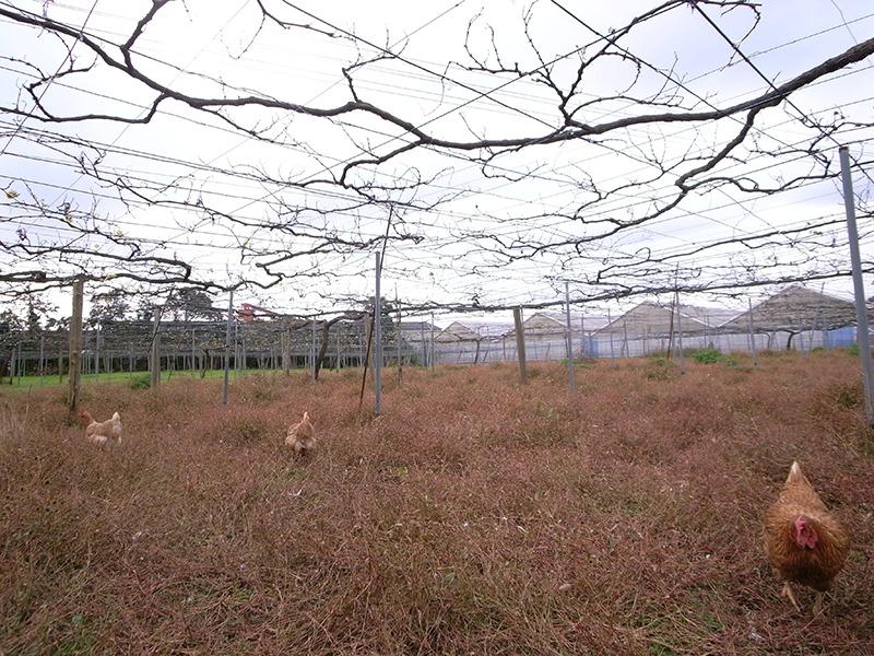 齊藤ぶどう園の畑。ニワトリとガチョウが出迎えてくれた。