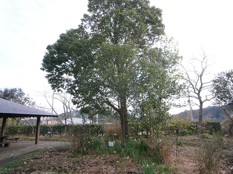 ニッケイの木。葉をちぎって香ってみた。